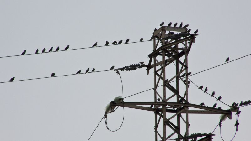 High voltage birds