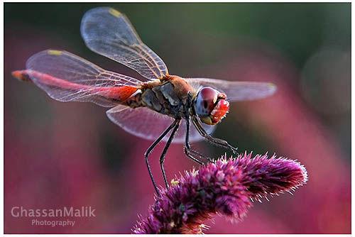 Iraq,macro,pink,dragonfly