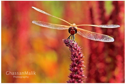 Iraq,macro,colors,red,dragonfly