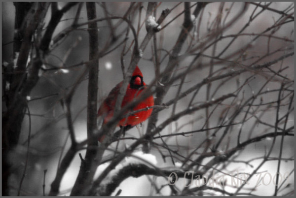 cardinal bird red winter snow