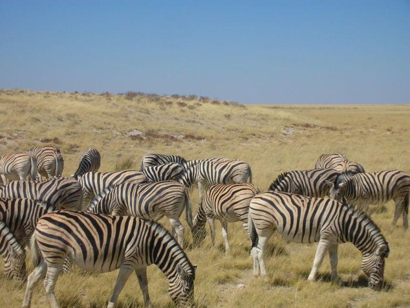 Zebra Namibia Etosha Africa