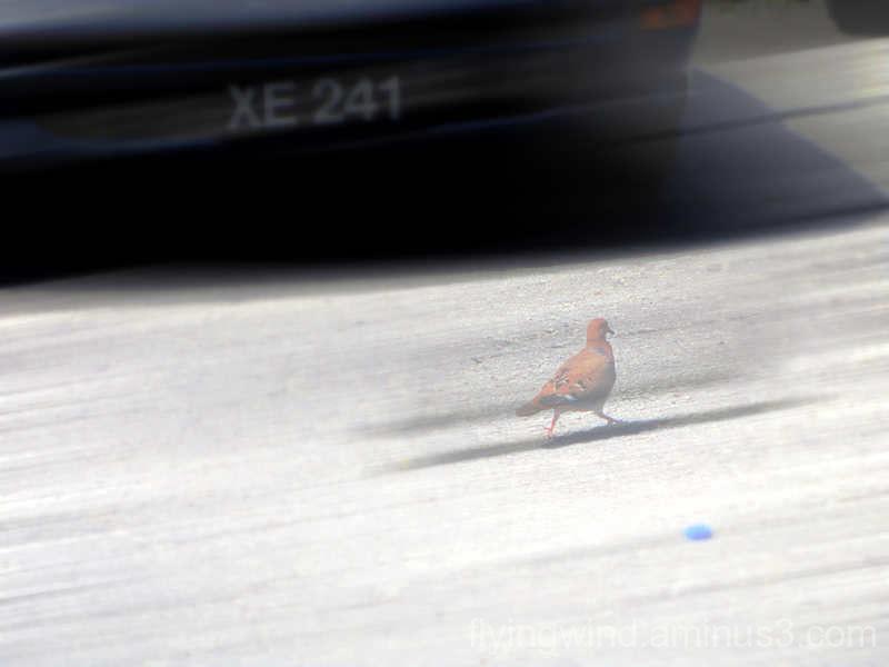 Strolling pigeon