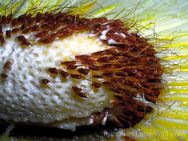 Breadfruit in color