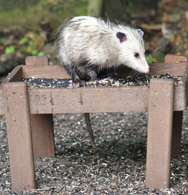 Opossum on ground feeder