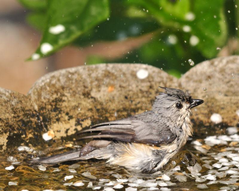 Tufted titmouse in birdbath