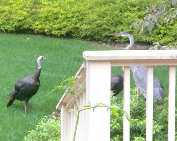 Turkey vs. Heron