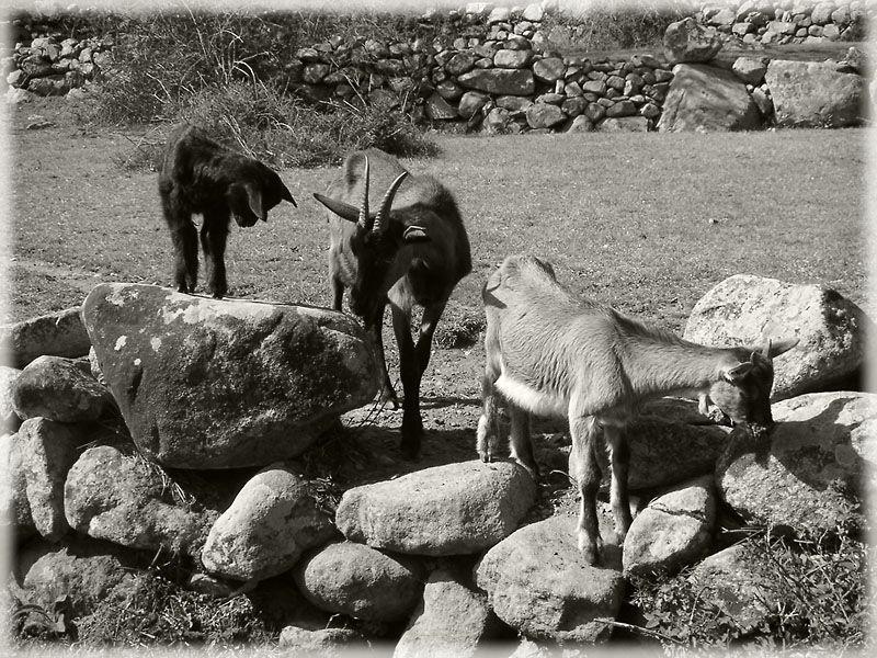 Le sentier des chèvres