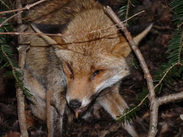 Maître Renard sous un arbre couché...