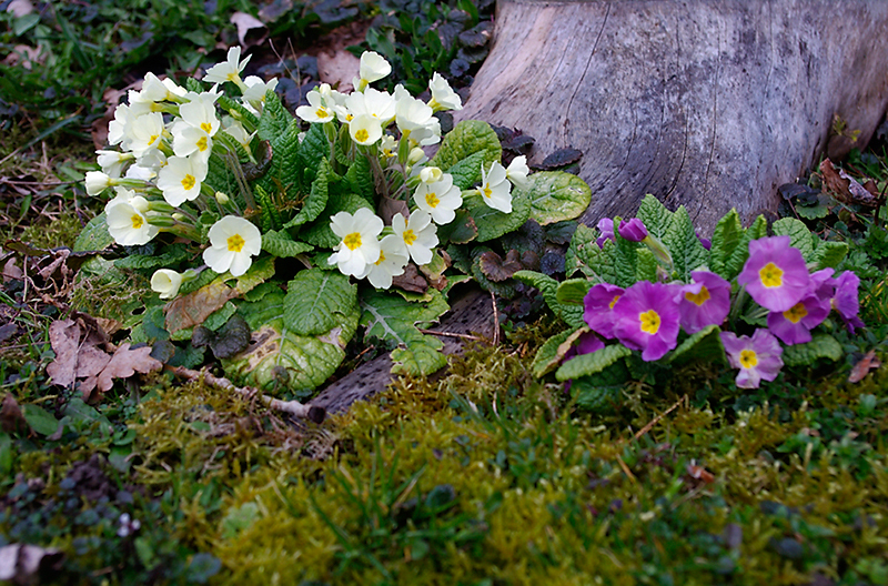 Petit à petit le printemps prend racine
