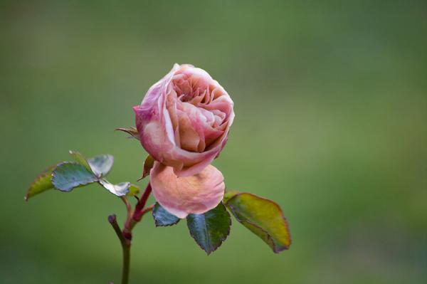 Une rose d'automne