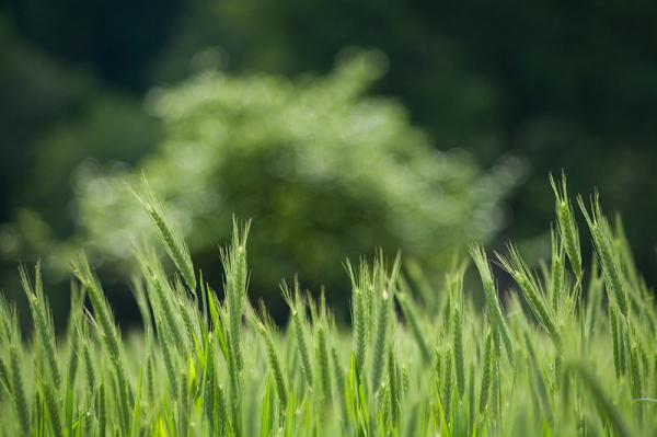 Du vert  épi du... mais où es-tu joli coquelicot ?
