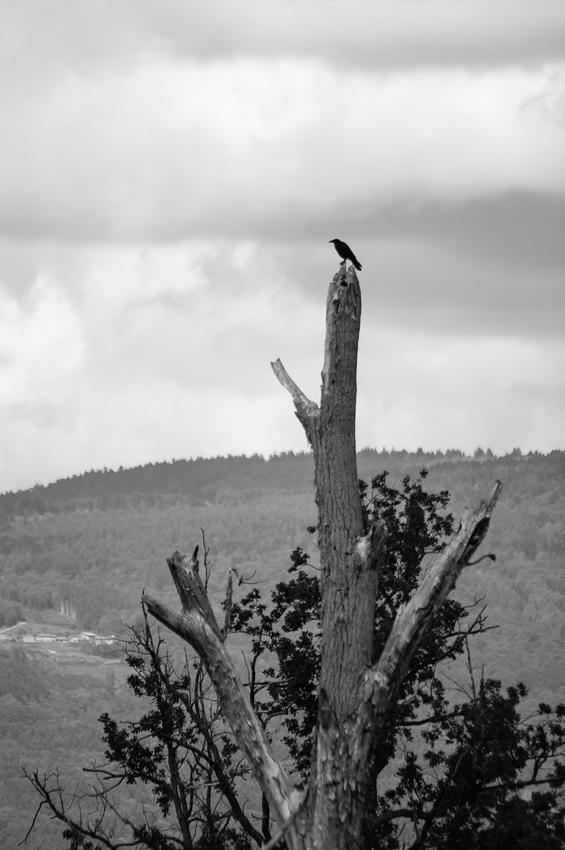 Maître Corbeau sur un arbre perché