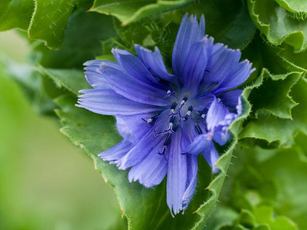 Petite fleur de salade