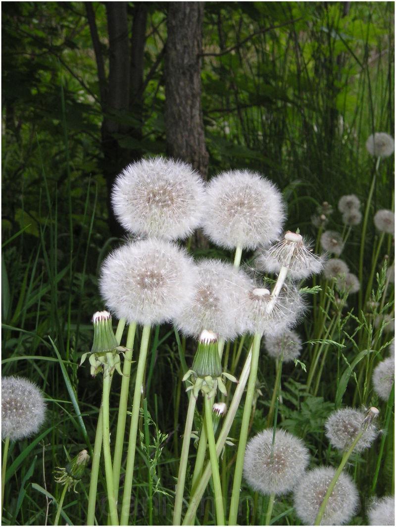 A dreamy shot of blooming dandelions