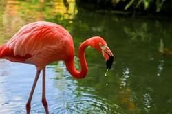 Flamingo I.