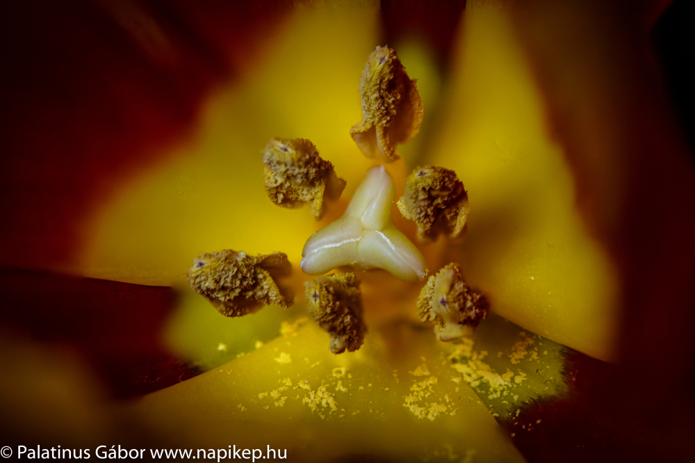 tulip - a focus stacked macro