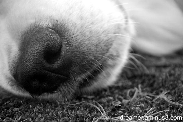 A golden retriever dog taking a nap
