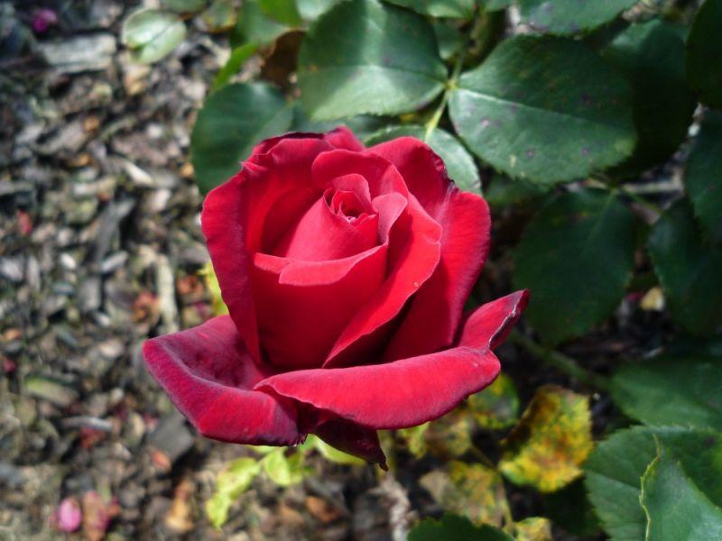 Rose from Coychurch crematorium