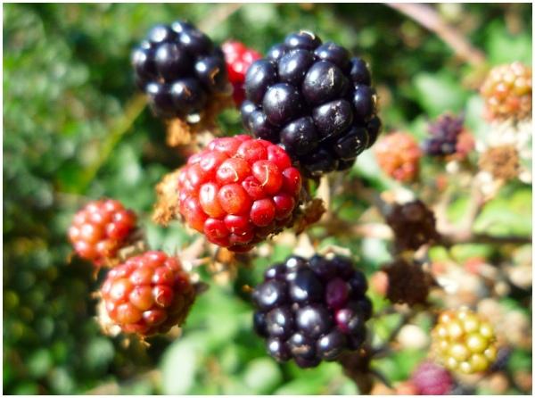 Blackberries Blackberry