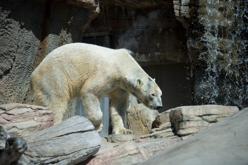 Polar bear at the San Diego Zoo.