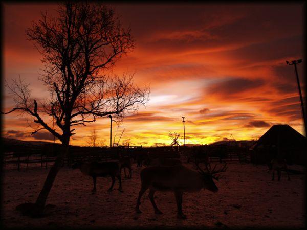 Sami Reindeer Farm, Kiruna, Sweden.