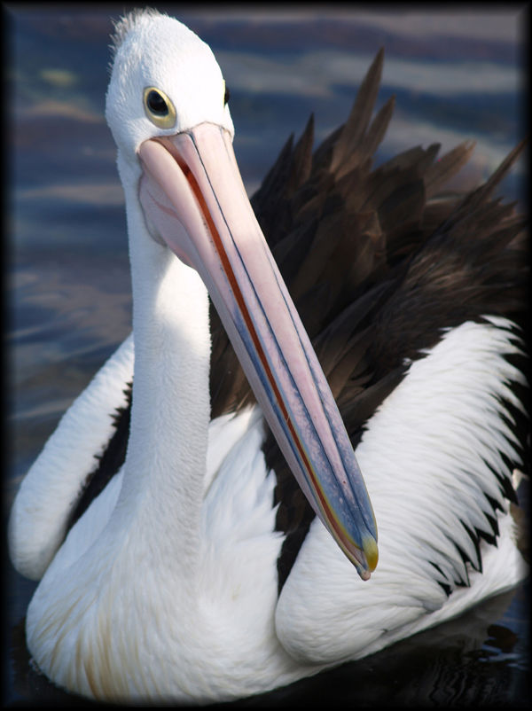Pelican on Lake Illawarra