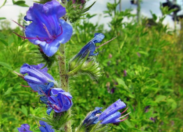 Beelitz-Heilstaetten, Summer, Flowers