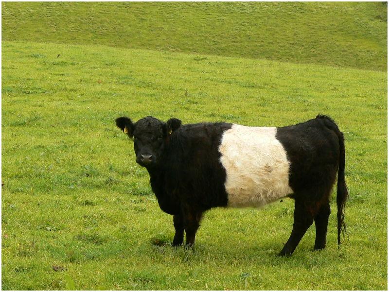 Irish b&w cow