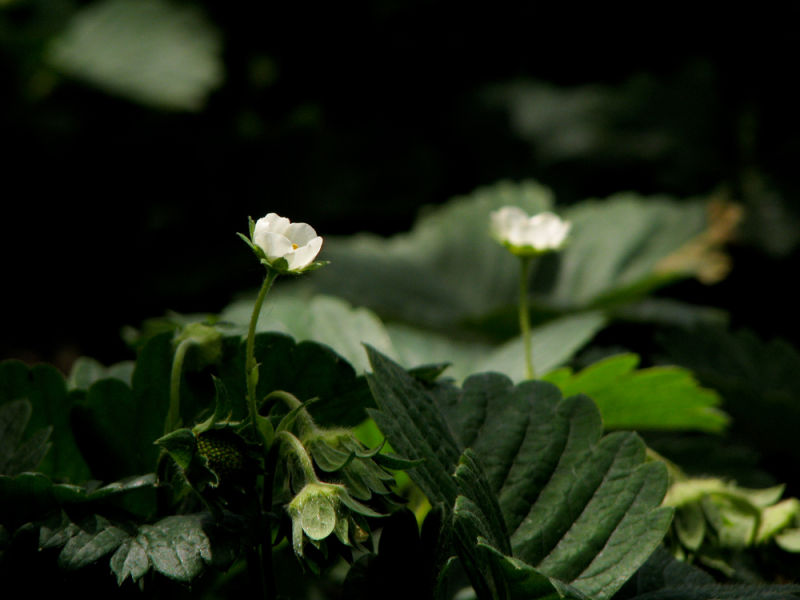 strawberry flowers in midday light