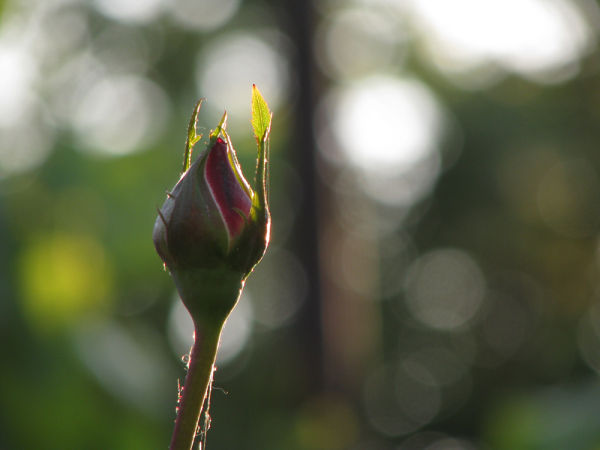 rosebud with bokeh