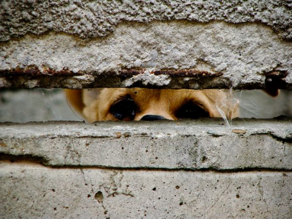 dog looking through a concrete fence