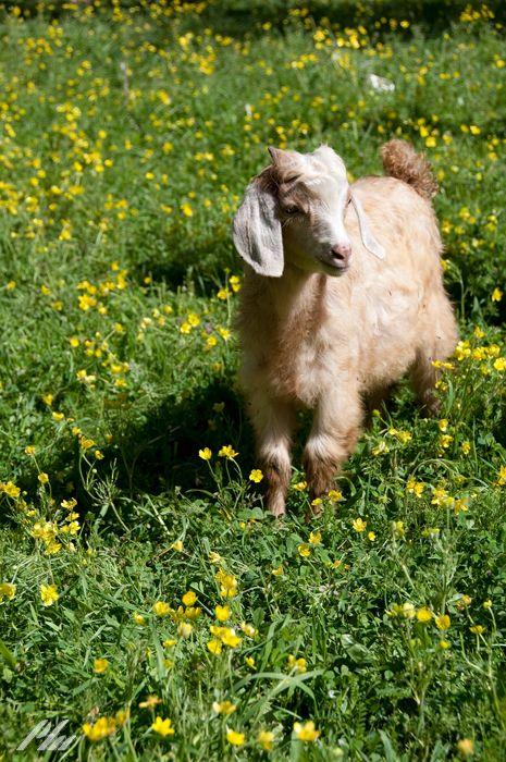 A goat in heaven