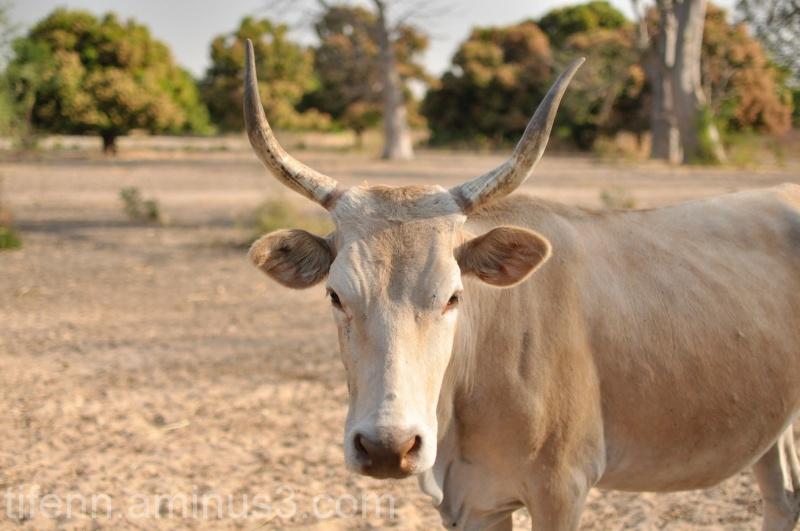 Cowpine