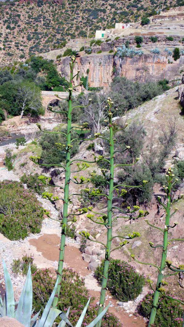 Du point de vue des agaves