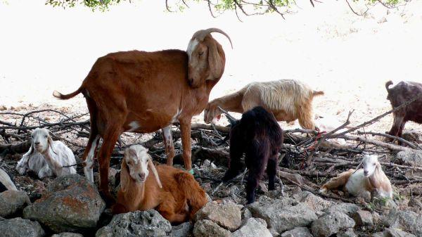 Chèvres sous le caroubier 2