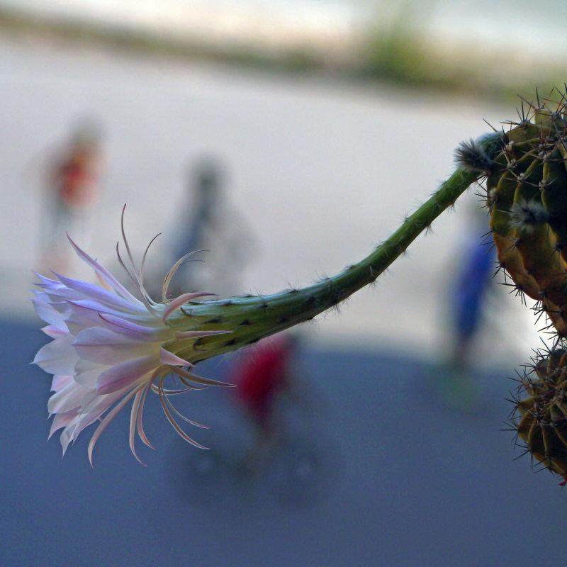 Comme un cactus piqué dans sa curiosité  29