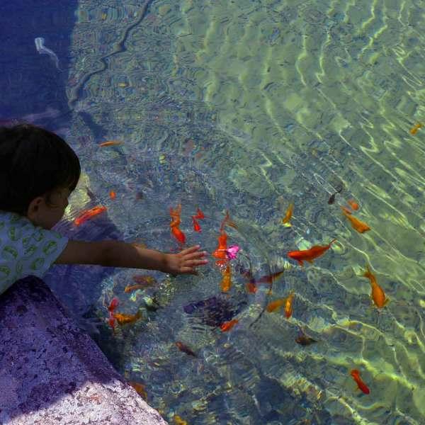 Les poissons rouges du bassin