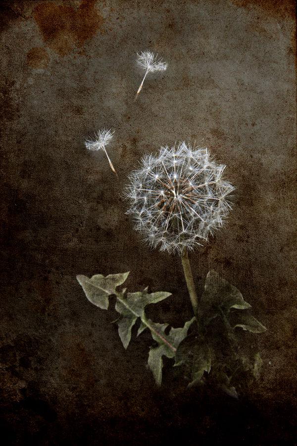 Dandelion No2