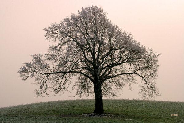 Hiver dans le Jura : L'arbre