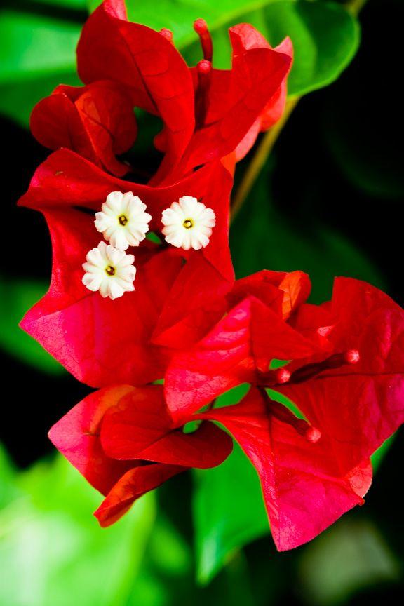 buganvilias - Plant & Nature Photos - James's Photoblog