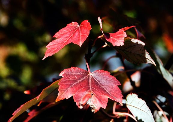 Red maple leaf in the fall
