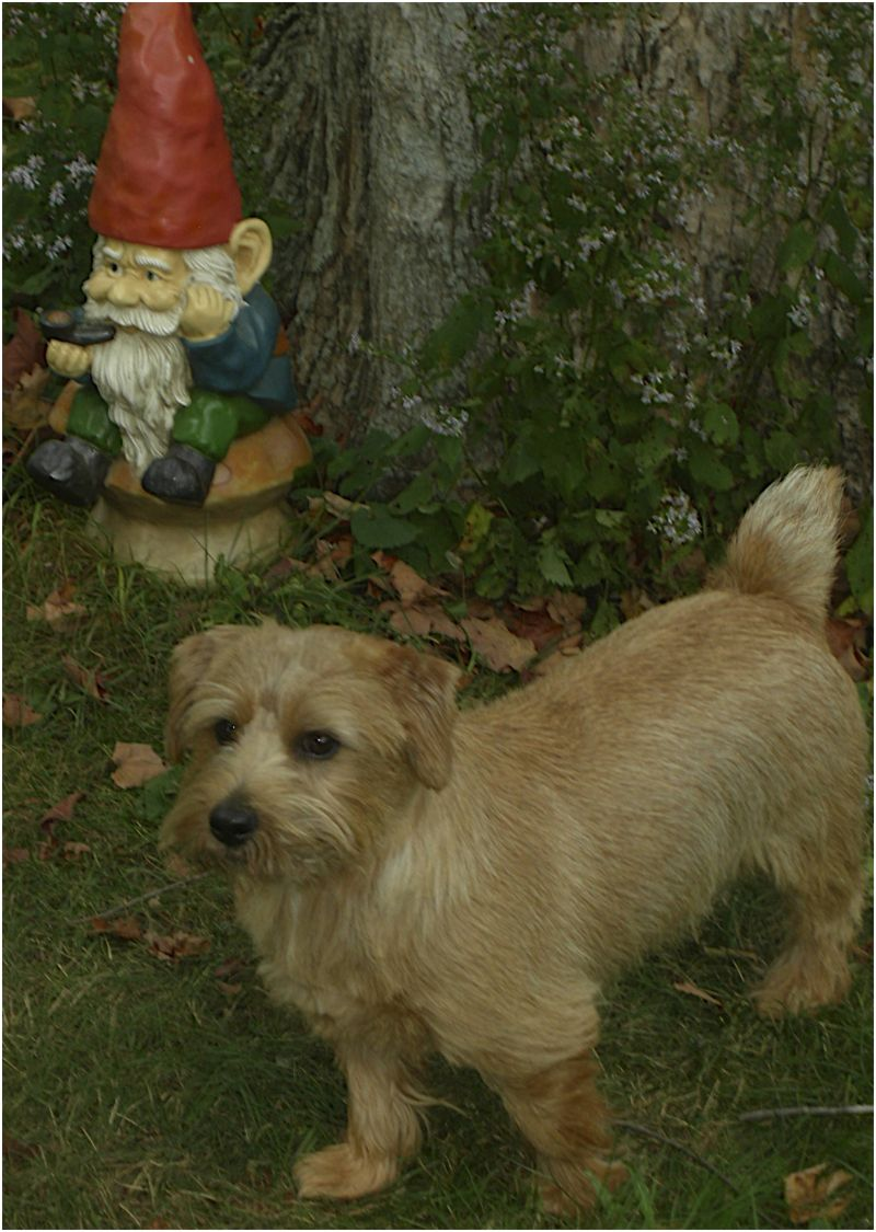 Lawn gnome and Norfolk Terrier Maine 2009
