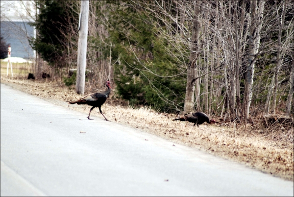 Turkeys crossing a road in Maine