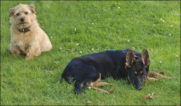 Norfolk Terrier and German Shepherd