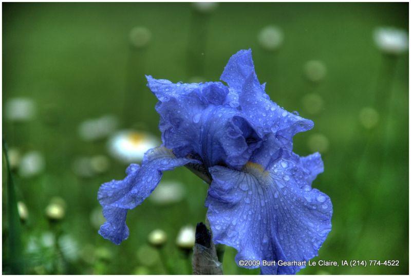 Iris after the Rain