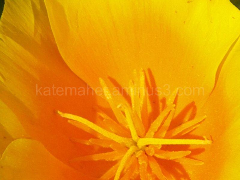 bright yellow poppy
