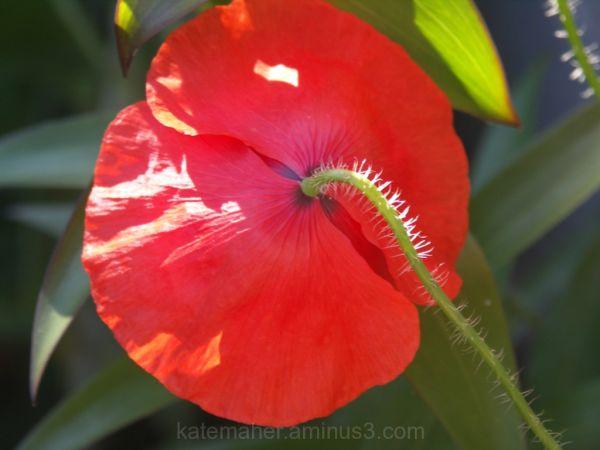 Poppy petals