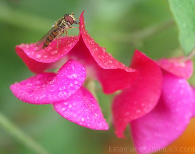 rain drops sweet peas rest