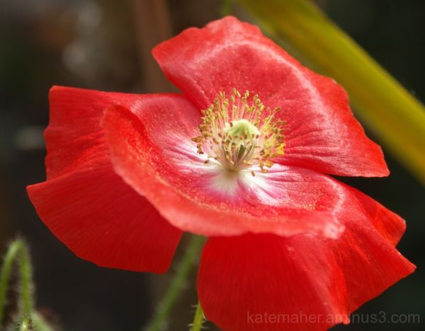 nearly last of my summer poppys