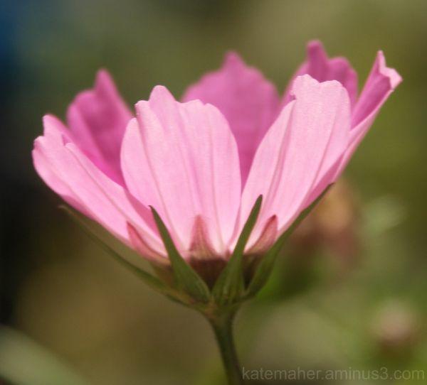 pink light cosmos